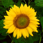 Sonnenblume